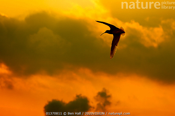 Curlew (Numenius arquata) in flight at dusk, Peak District NP, UK, March 2011. Did you know? Curlews spend their winters on estuaries and tidal flats, but move inland to fens, moors, bogs and heathlands to breed in the summer.  ,  2020VISION,ENGLAND,NP,SCOLOPACIDAE,SILHOUETTES,UK,VERTEBRATES,YELLOW,BIRDS,CLOUDS,CURLEWS,EUROPE,FLYING,picday,MOORLAND,OUTDOORS,PEAK DISTRICT,SKY,SUNSET,WADERS,Weather,National Park,United Kingdom,Plovers,2020cc  ,  Ben Hall / 2020VISION