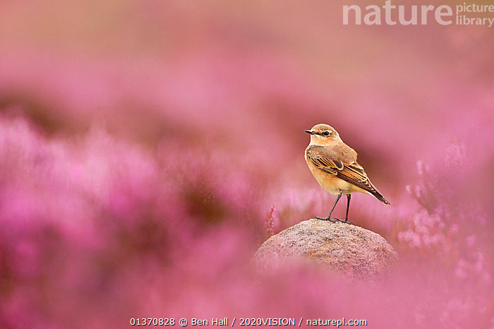 Wheatear, (Oenanthe oenanthe) perched on gritstone rock amongst flowering heather (Ericaceae sp), Peak District NP, August 2011. Did you know? The wheatear is only in the UK during summer months � the rest of the year it spends in Africa.  ,  BIRDS,CALLUNA VULGARIS ,COPYSPACE,EUROPE,LOOKING AT CAMERA,MOORLAND,PEAK DISTRICT,TURDIDAE,2020VISION,COLOURFUL,ENGLAND,FLOWERS,NP,PURPLE,SONGBIRDS,UK,VERTEBRATES,WHEATEARS,National Park,United Kingdom,2020cc  ,  Ben Hall / 2020VISION