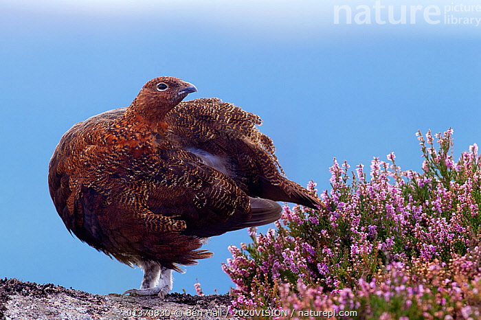 Red grouse (Lagopus lagopus scoticus) standing on gritstone boulder with flowering heather (Ericaceae sp), Peak District NP, August 2011. Did you know? While the female grouse is incubating her eggs, the male will act as a dedicated guard, alert for predators  ,  2020VISION,ENGLAND,FLOWERS,GAME BIRDS,NP,UK,VERTEBRATES,BIRDS,CALLUNA VULGARIS ,EUROPE,GALLIFORMES,GROUSE,LOOKING AT CAMERA,MOORLAND,PEAK DISTRICT,National Park,United Kingdom,2020cc  ,  Ben Hall / 2020VISION