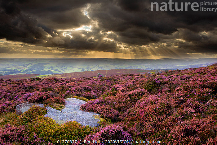Scenic view of moorland habitat showing flowering heather (Ericaceae sp) in foreground, Peak District NP, August 2011  ,  ATMOSPHERIC,CALLUNA VULGARIS ,CLOUDS,EUROPE,MOORLAND,PEAK DISTRICT,SKY,2020VISION,ENGLAND,FLOWERS,HIGH ANGLE SHOT,LANDSCAPES,MIST,NP,PURPLE,UK,Weather,National Park,United Kingdom,2020cc  ,  Ben Hall / 2020VISION