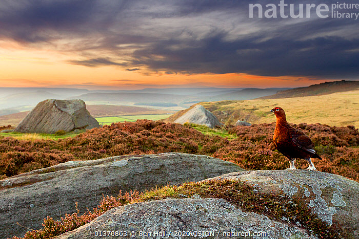 Red grouse (Lagopus lagopus scoticus) on heather moorland showing habitat, Peak District National Park, UK, September. Did you know? Red grouse thrive on managed moorlands � the UK has at least 155,000 breeding pairs, our most common game bird.  ,  2020VISION,ENGLAND,GAME BIRDS,LANDSCAPES,MIST,NP,UK,VERTEBRATES,ATMOSPHERIC,BIRDS,CALLUNA VULGARIS ,EUROPE,GALLIFORMES,GROUSE,MOORLAND,PEAK DISTRICT,ROCKS,SKY,SUNSET,National Park,United Kingdom,PICDAY,2020cc  ,  Ben Hall / 2020VISION