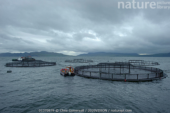 Salmon farm in the Sound of Mull, Inner Hebrides, Scotland, UK, July 2011  ,  2020VISION,SCOTLAND,SEAS,UK,BOATS,COASTAL WATERS,EUROPE,FISH,FISHERIES,TEMPERATE,WORKING BOATS,United Kingdom  ,  Chris Gomersall / 2020VISION