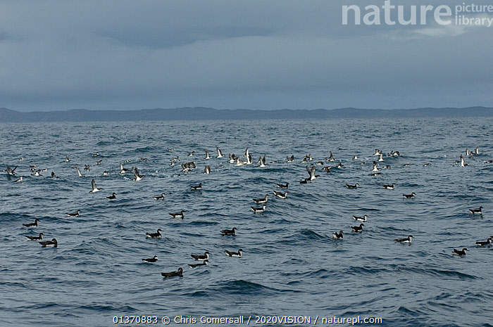 Raft of manx shearwaters (Puffinus puffinus) out to sea, some beginning to take flight, Coll, Inner Hebrides, Scotland, UK, July 2011  ,  BIRDS,COASTAL WATERS,EUROPE,FLYING,SEABIRDS,SHEARWATERS,TEMPERATE,2020VISION,FLOCKS,SCOTLAND,SEAS,UK,VERTEBRATES,United Kingdom  ,  Chris Gomersall / 2020VISION