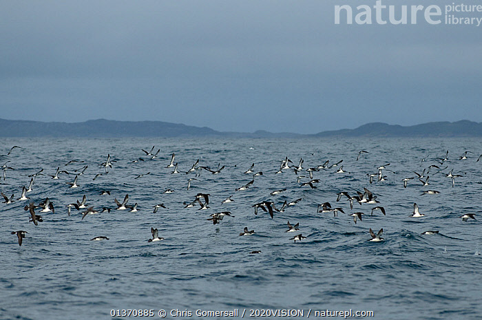 Flock of manx shearwaters (Puffinus puffinus) in flight over the sea, Coll, Inner Hebrides, Scotland, UK, July 2011  ,  BIRDS,COASTAL WATERS,EUROPE,FLYING,SEABIRDS,SHEARWATERS,2020VISION,FLOCKS,SCOTLAND,SEAS,UK,VERTEBRATES,United Kingdom  ,  Chris Gomersall / 2020VISION