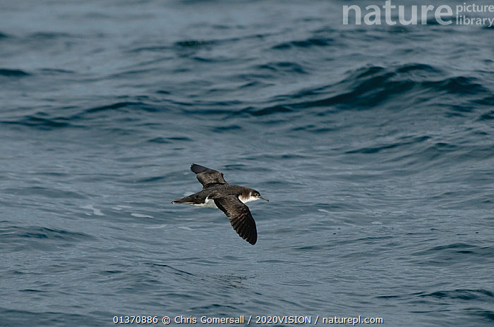 Manx shearwater (Puffinus puffinus) adult in flight over the sea, Coll, Inner Hebrides, UK, July 2011  ,  BIRDS,COASTAL WATERS,EUROPE,FLYING,ONE ANIMAL,SEABIRDS,SHEARWATERS,2020VISION,SCOTLAND,SEAS,UK,VERTEBRATES,United Kingdom  ,  Chris Gomersall / 2020VISION