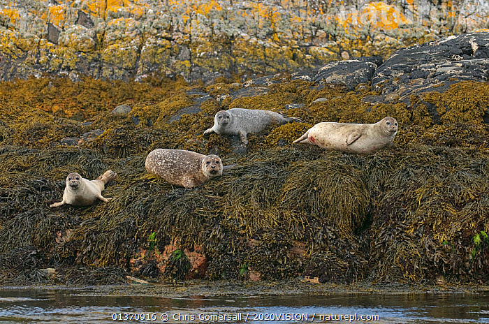Common or harbour seals (Phoca vitulina) hauled out on rocks at the Cairns of Coll, Inner Hebrides, Scotland, UK, July 2011  ,  COASTAL WATERS,EUROPE,HARBOR SEAL,HARBOUR SEAL,MAMMALS,PINNIPEDS,TEMPERATE,2020VISION,CARNIVORES,FOUR,MARINE,SCOTLAND,SEALS,SEAS,UK,VERTEBRATES,United Kingdom  ,  Chris Gomersall / 2020VISION