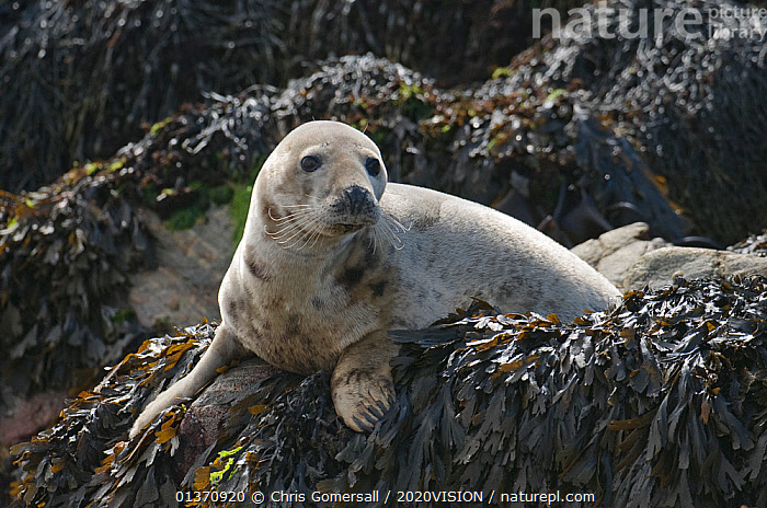 Atlantic grey seal (Halichoerus grypus) hauled out on rocks at the Cairns of Coll, Inner Hebrides, Scotland, UK, July 2011  ,  COASTAL WATERS,EUROPE,LOOKING AT CAMERA,MAMMALS,ONE ANIMAL,PINNIPEDS,PORTRAITS,2020VISION,CARNIVORES,MARINE,PHOCIDAE,SCOTLAND,SEALS,SEAS,SEAWEED,UK,VERTEBRATES,Plants,United Kingdom  ,  Chris Gomersall / 2020VISION