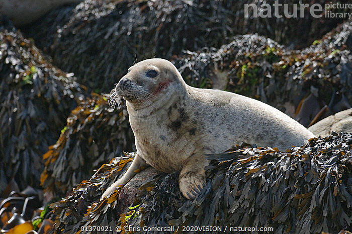 Atlantic grey seal (Halichoerus grypus) hauled out on rocks at the Cairns of Coll, Inner Hebrides, Scotland, UK, July 2011  ,  COASTAL WATERS,EUROPE,MAMMALS,ONE ANIMAL,PINNIPEDS,PORTRAITS,2020VISION,CARNIVORES,MARINE,PHOCIDAE,PROFILE,SCOTLAND,SEALS,SEAS,SEAWEED,UK,VERTEBRATES,Plants,United Kingdom  ,  Chris Gomersall / 2020VISION