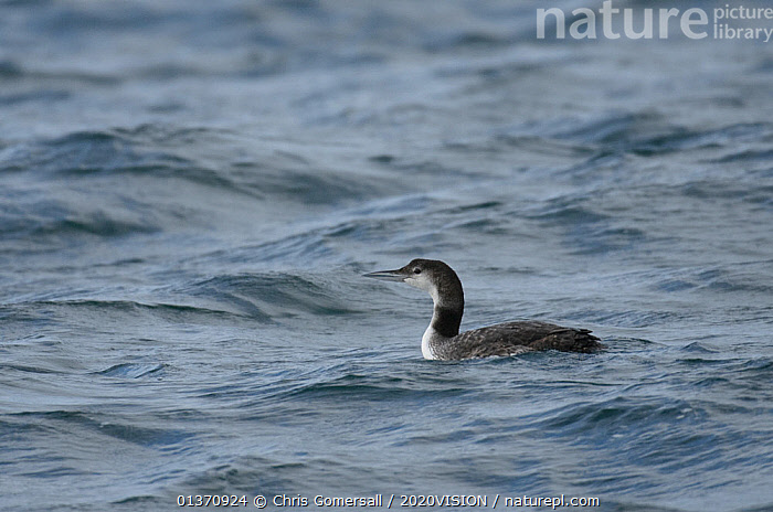 Great northern diver (Gavia immer) in non-breeding plumage near the Isle of Coll, Inner Hebrides, Scotland, UK, July 2011  ,  2020VISION,DIVERS,GAVIIDAE,ONE BIRD,SCOTLAND,SEAS,UK,VERTEBRATES,BIRDS,COASTAL WATERS,EUROPE,LOONS,WATERFOWL,United Kingdom  ,  Chris Gomersall / 2020VISION