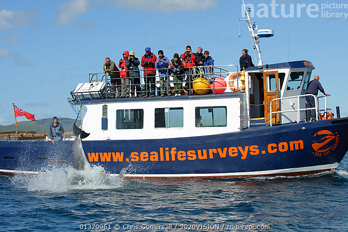 Passengers on observation deck of Sea Life Surveys vessel Sula Beag watching a breaching Bottlenose dolphin (Tursiops truncatus) in the Sound of Mull, Inner Hebrides, Scotland, UK, July 2011  ,  ATLANTIC OCEAN,BOATS,BOTTLENOSE,BREACHING,CETACEANS,COASTAL WATERS,COASTS,EUROPE,FLUKES,GROUPS,MAMMALS,MS,ONE ANIMAL,OUTDOORS,SPLASH,SURFACE,TEMPERATE,WORKING BOATS,2020VISION,DELPHINIDAE,DOLPHINS,LEISURE,MARINE,PEOPLE,SCOTLAND,SEAS,TOURISM,UK,VERTEBRATES,WATCHING,United Kingdom  ,  Chris Gomersall / 2020VISION