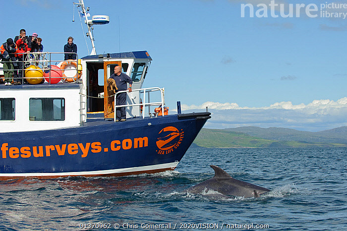 Passengers on observation deck of Sea Life Surveys vessel Sula Beag watching a Bottlenose dolphin (Tursiops truncatus) bow riding in the Sound of Mull, Inner Hebrides, Scotland, UK, July 2011  ,  ATLANTIC OCEAN,BOATS,BOTTLENOSE,BOWS,CETACEANS,COASTAL WATERS,COASTS,EUROPE,GROUPS,MAMMALS,MS,ONE ANIMAL,OUTDOORS,SURFACE,TEMPERATE,WORKING BOATS,2020VISION,DELPHINIDAE,DOLPHINS,LEISURE,MARINE,PEOPLE,PROFILE,SCOTLAND,SEAS,TOURISM,UK,VERTEBRATES,WATCHING,BOAT-PARTS,United Kingdom  ,  Chris Gomersall / 2020VISION