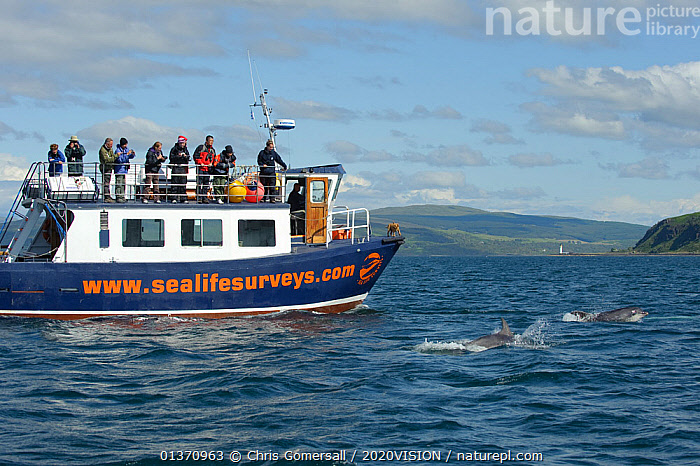 Passengers on observation deck of Sea Life Surveys vessel Sula Beag watching two Bottlenose dolphins (Tursiops truncatus) in the Sound of Mull, Inner Hebrides, Scotland, UK, July 2011  ,  ATLANTIC OCEAN,BOATS,BOTTLENOSE,CETACEANS,COASTAL WATERS,COASTS,EUROPE,GROUPS,MAMMALS,MS,OUTDOORS,SURFACE,TEMPERATE,TWO,WORKING BOATS,2020VISION,DELPHINIDAE,DOLPHINS,LEISURE,MARINE,PEOPLE,PROFILE,SCOTLAND,SEAS,TOURISM,UK,VERTEBRATES,WATCHING,United Kingdom  ,  Chris Gomersall / 2020VISION