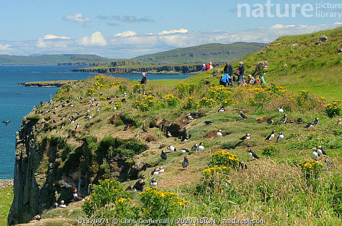 Atlantic puffin (Fratercula arctica) breeding colony, with tourists in the background, Lunga, Inner Hebrides, Scotland, UK, July 2011.  ,  2020VISION,FLOCKS,LANDSCAPES,LEISURE,PEOPLE,SCOTLAND,SEAS,TOURISM,UK,VERTEBRATES,ATLANTIC PUFFIN,AUKS,BIRDS,COASTAL WATERS,EUROPE,GROUPS,OUTDOORS,SEABIRDS,SUMMER,United Kingdom  ,  Chris Gomersall / 2020VISION
