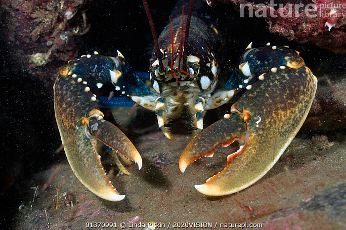 Common Lobster (Homarus gammarus), St Abbs (St Abbs and Eyemouth Voluntary Marine Reserve), Berwickshire, Scotland, UK, October 2011  ,  ARTHROPODS,ATLANTIC,COASTAL WATERS,CRUSTACEANS,EUROPE,FACES,FULL FRAME,LOOKING AT CAMERA,PORTRAITS,TEMPERATE,2020VISION,CLAWED LOBSTERS,CLAWS,HEADS,INVERTEBRATES,MARINE,RESERVE,SCOTLAND,SEAS,SPOTS,UK,UNDERWATER,United Kingdom  ,  Linda Pitkin / 2020VISION