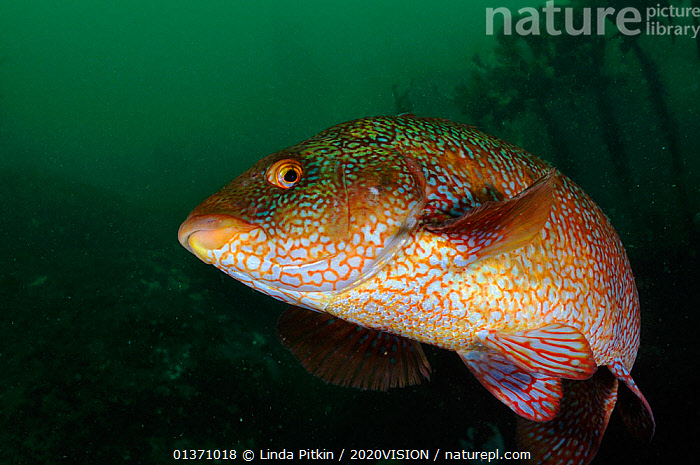 Ballan wrasse (Labrus bergylta), St Abbs (St Abbs and Eyemouth Voluntary Marine Reserve), Berwickshire, Scotland, UK, October 2011  ,  ATLANTIC,COASTAL WATERS,EUROPE,FISH,LOOKING AT CAMERA,TEMPERATE,2020VISION,COLOURFUL,MARINE,NORTH SEA,OSTEICHTHYES,PATTERNS,RESERVE,SCOTLAND,SEAS,UK,UNDERWATER,VERTEBRATES,WRASSE,United Kingdom  ,  Linda Pitkin / 2020VISION