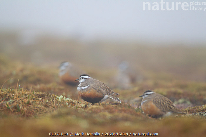 Small group of adult Eurasian dotterel (Charadrius morinellus) in breeding habitat on upland plateau of Grampian mountains, Cairngorms NP, Scotland, UK, May 2011  ,  BIRDS,EUROPE,GROUPS,PLOVERS,SUMMER,UPLANDS,WADERS,2020VISION,CHARADRIIDAE,EUDROMIAS,FLOCKS,HABITAT,HIGHLANDS,MIST,MOUNTAINS,SCOTLAND,UK,VERTEBRATES,United Kingdom  ,  Mark Hamblin / 2020VISION
