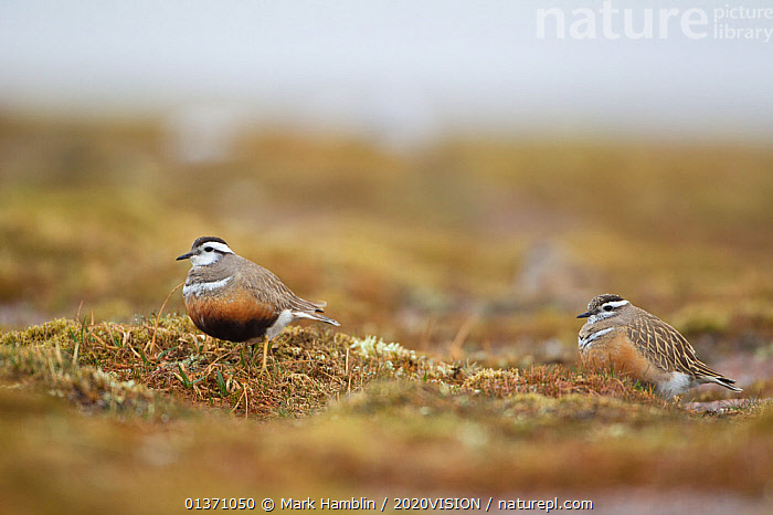 Two adult Eurasian dotterel (Charadrius morinellus) in breeding habitat on upland plateau of Grampian mountains, Cairngorms NP, Scotland, UK, May 2011  ,  BIRDS,EUROPE,PLOVERS,SUMMER,TWO,UPLANDS,WADERS,2020VISION,BEHAVIOUR,CHARADRIIDAE,EUDROMIAS,GROOMING,HABITAT,HIGHLANDS,MOUNTAINS,SCOTLAND,UK,VERTEBRATES,United Kingdom  ,  Mark Hamblin / 2020VISION
