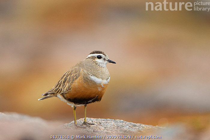 Portrait of adult female Eurasian dotterel (Charadrius morinellus) in breeding habitat on upland plateau of Grampian mountains, Cairngorms NP, Scotland, UK, May 2011  ,  2020VISION,CHARADRIIDAE,EUDROMIAS,HIGHLANDS,MOUNTAINS,SCOTLAND,UK,VERTEBRATES,BIRDS,EUROPE,ONE,PLOVERS,PORTRAITS,SUMMER,UPLANDS,WADERS,United Kingdom  ,  Mark Hamblin / 2020VISION