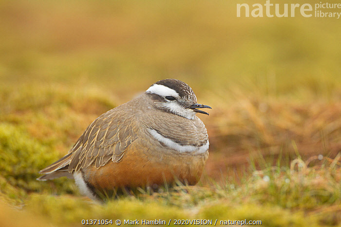 Adult Eurasian dotterel (Charadrius morinellus) female in breeding habitat on upland plateau of Grampian mountains, Cairngorms NP, Scotland, UK, May 2011  ,  BIRDS,EUROPE,ONE,PLOVERS,SUMMER,UPLANDS,WADERS,2020VISION,CHARADRIIDAE,EUDROMIAS,HIGHLANDS,MOUNTAINS,SCOTLAND,UK,VERTEBRATES,VOCALISATION,United Kingdom  ,  Mark Hamblin / 2020VISION