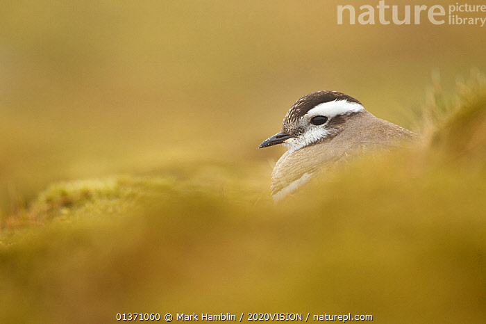 Adult Eurasian dotterel (Charadrius morinellus) female in breeding habitat on upland plateau of Grampian mountains, Cairngorms NP, Scotland, UK, May 2011  ,  2020VISION,CHARADRIIDAE,EUDROMIAS,HIGHLANDS,MOUNTAINS,SCOTLAND,UK,VERTEBRATES,BIRDS,EUROPE,ONE,PLOVERS,SUMMER,UPLANDS,WADERS,United Kingdom  ,  Mark Hamblin / 2020VISION