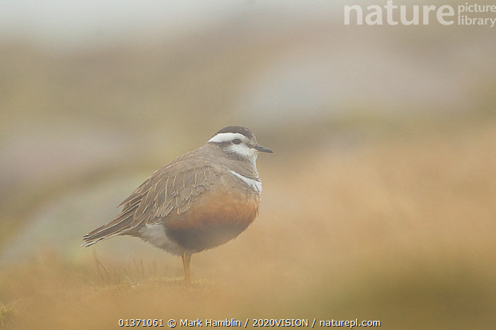 Adult Eurasian dotterel (Charadrius morinellus) female in breeding habitat in hill fog on upland plateau of Grampian mountains, Cairngorms NP, Scotland, UK, May 2011  ,  BIRDS,EUROPE,ONE,PLOVERS,PORTRAITS,SUMMER,UPLANDS,WADERS,2020VISION,CHARADRIIDAE,EUDROMIAS,HIGHLANDS,MIST,MOUNTAINS,SCOTLAND,UK,VERTEBRATES,United Kingdom  ,  Mark Hamblin / 2020VISION