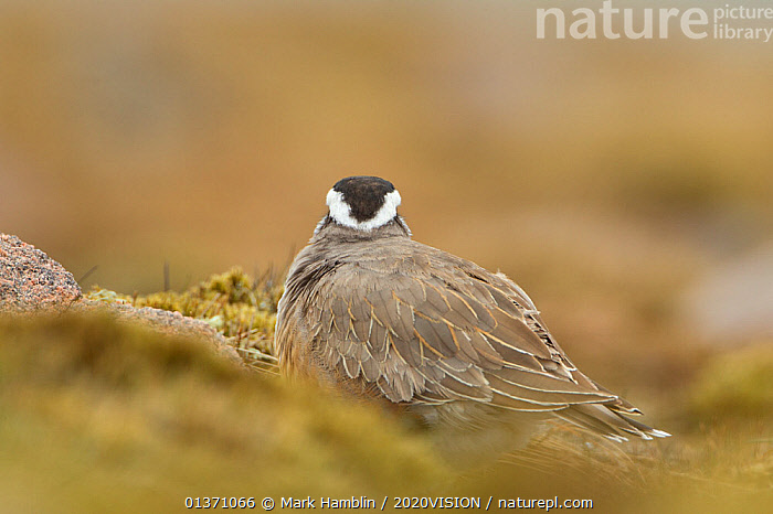 Adult Eurasian dotterel (Charadrius morinellus) female showing plumage on back of head, in breeding habitat on upland plateau of Grampian mountains, Cairngorms NP, Scotland, UK, May 2011  ,  BIRDS,EUROPE,ONE,PLOVERS,SUMMER,UPLANDS,WADERS,2020VISION,BEHAVIOUR,CHARADRIIDAE,EUDROMIAS,GROOMING,HIGHLANDS,MOUNTAINS,SCOTLAND,UK,VERTEBRATES,United Kingdom  ,  Mark Hamblin / 2020VISION