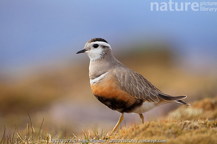 Adult female Eurasian dotterel (Charadrius morinellus) in breeding habitat on upland plateau of Grampian mountains, Cairngorms NP, Scotland, UK, May 2011. Did you know? In one summer, a female dotterel might mate with males in both Scotland and Norway, leaving them to rear the chicks by themselves in each country!  ,  BIRDS,EUROPE,ONE,PLOVERS,PORTRAITS,SUMMER,UPLANDS,WADERS,2020VISION,CHARADRIIDAE,EUDROMIAS,HIGHLANDS,MOUNTAINS,SCOTLAND,UK,VERTEBRATES,United Kingdom,PICDAY,2020cc  ,  Mark Hamblin / 2020VISION