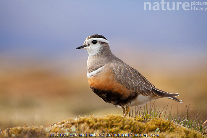 Adult female Eurasian dotterel (Charadrius morinellus) in breeding habitat on upland plateau of Grampian mountains, Cairngorms NP, Scotland, UK, May 2011  ,  BIRDS,EUROPE,ONE,PLOVERS,PORTRAITS,SUMMER,UPLANDS,WADERS,2020VISION,CHARADRIIDAE,EUDROMIAS,HIGHLANDS,MOUNTAINS,SCOTLAND,UK,VERTEBRATES,United Kingdom  ,  Mark Hamblin / 2020VISION