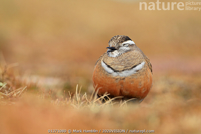 Adult female Eurasian dotterel (Charadrius morinellus) resting in breeding habitat on upland plateau of Grampian mountains, Cairngorms NP, Scotland, UK, May 2011  ,  BIRDS,EUROPE,ONE,PLOVERS,SUMMER,UPLANDS,WADERS,2020VISION,CHARADRIIDAE,EUDROMIAS,HIGHLANDS,MOUNTAINS,SCOTLAND,UK,VERTEBRATES,VOCALISATION,United Kingdom  ,  Mark Hamblin / 2020VISION
