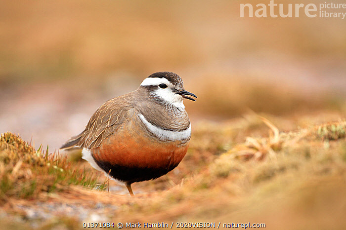 Adult Eurasian dotterel (Charadrius morinellus) female in breeding habitat on upland plateau of Grampian mountains, Cairngorms NP, Scotland, UK, May 2011  ,  2020VISION,CHARADRIIDAE,EUDROMIAS,HIGHLANDS,MOUNTAINS,SCOTLAND,UK,VERTEBRATES,VOCALISATION,BIRDS,EUROPE,ONE,PLOVERS,PORTRAITS,SUMMER,UPLANDS,WADERS,United Kingdom  ,  Mark Hamblin / 2020VISION