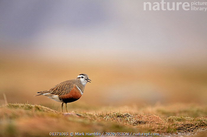 Adult female Eurasian dotterel (Charadrius morinellus) calling in breeding habitat on upland plateau of Grampian mountains, Cairngorms NP, Scotland, UK, May 2011  ,  BIRDS,EUROPE,ONE,PLOVERS,PORTRAITS,SUMMER,UPLANDS,WADERS,2020VISION,CHARADRIIDAE,EUDROMIAS,HIGHLANDS,MOUNTAINS,SCOTLAND,UK,VERTEBRATES,VOCALISATION,United Kingdom  ,  Mark Hamblin / 2020VISION