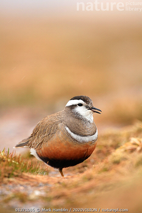 Adult female Eurasian dotterel (Charadrius morinellus) in breeding habitat on upland plateau of Grampian mountains, Cairngorms NP, Scotland, UK, May 2011  ,  BIRDS,EUROPE,ONE,PLOVERS,PORTRAITS,SUMMER,UPLANDS,VERTICAL,WADERS,2020VISION,CHARADRIIDAE,EUDROMIAS,HIGHLANDS,MOUNTAINS,SCOTLAND,UK,VERTEBRATES,VOCALISATION,United Kingdom,2020cc  ,  Mark Hamblin / 2020VISION