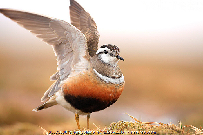 Adult female Eurasian dotterel (Charadrius morinellus) displaying with wings raised, in breeding habitat on upland plateau of Grampian mountains, Cairngorms NP, Scotland, UK  ,  2020VISION,BEHAVIOUR,CHARADRIIDAE,EUDROMIAS,HIGHLANDS,MOUNTAINS,SCOTLAND,STRETCHING,UK,VERTEBRATES,BIRDS,DISPLAY,EUROPE,ONE,PLOVERS,PORTRAITS,SUMMER,UPLANDS,WADERS,WINGS,Communication,United Kingdom,2020cc  ,  Mark Hamblin / 2020VISION
