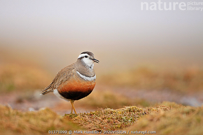 Adult female Eurasian dotterel (Charadrius morinellus) in breeding habitat on upland plateau of Grampian mountains, Cairngorms NP, Scotland, UK, May 2011  ,  BIRDS,EUROPE,ONE,PLOVERS,PORTRAITS,SUMMER,UPLANDS,WADERS,2020VISION,CHARADRIIDAE,EUDROMIAS,HIGHLANDS,MOUNTAINS,SCOTLAND,UK,VERTEBRATES,VOCALISATION,United Kingdom  ,  Mark Hamblin / 2020VISION