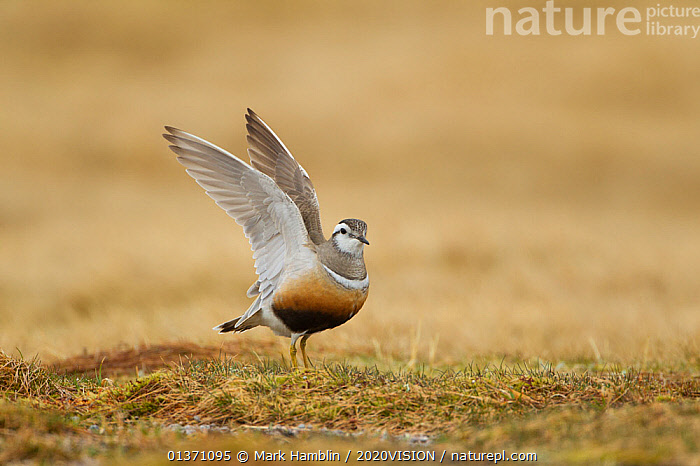 Adult female Eurasian dotterel (Charadrius morinellus) displaying with wings raised, in breeding habitat on upland plateau of Grampian mountains, Cairngorms NP, Scotland, UK, May 2011  ,  BIRDS,DISPLAY,EUROPE,ONE,PLOVERS,SUMMER,UPLANDS,WADERS,WINGS,2020VISION,BEHAVIOUR,CHARADRIIDAE,EUDROMIAS,HIGHLANDS,MOUNTAINS,SCOTLAND,STRETCHING,UK,VERTEBRATES,Communication,United Kingdom  ,  Mark Hamblin / 2020VISION