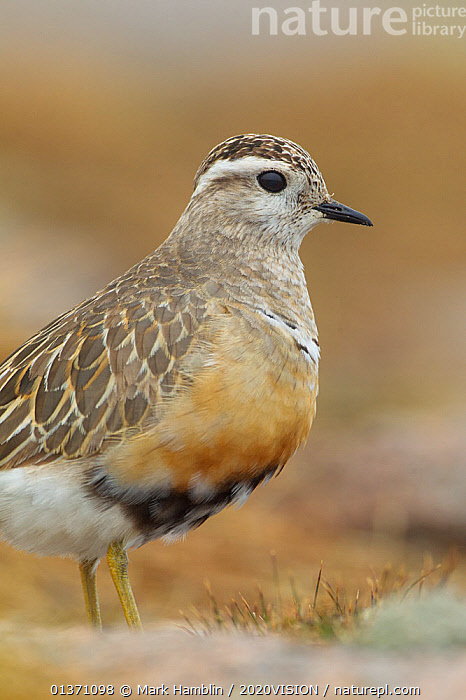 Adult male Eurasian dotterel (Charadrius morinellus) in breeding habitat on upland plateau of Grampian mountains, Cairngorms NP, Scotland, UK, May 2011  ,  BIRDS,EUROPE,ONE,PLOVERS,PORTRAITS,SUMMER,UPLANDS,VERTICAL,WADERS,2020VISION,CHARADRIIDAE,EUDROMIAS,HIGHLANDS,MOUNTAINS,SCOTLAND,UK,VERTEBRATES,United Kingdom,2020cc  ,  Mark Hamblin / 2020VISION