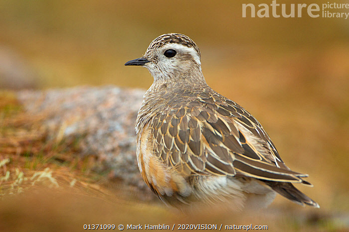 Adult male Eurasian dotterel (Charadrius morinellus) in breeding habitat on upland plateau of Grampian mountains, Cairngorms NP, Scotland, UK, May 2011  ,  BIRDS,EUROPE,ONE,PLOVERS,PORTRAITS,SUMMER,UPLANDS,WADERS,2020VISION,CHARADRIIDAE,EUDROMIAS,HIGHLANDS,MOUNTAINS,SCOTLAND,UK,VERTEBRATES,United Kingdom,2020cc  ,  Mark Hamblin / 2020VISION