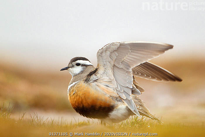 Adult Eurasian dotterel (Charadrius morinellus), female with wings partially raised in the air in breeding habitat on upland plateau of Grampian mountains, Cairngorms NP, Scotland, UK, May 2011. 2020VISION Book Plate.  ,  2020VISION,2020vision book plate,BEHAVIOUR,BIRDS,Charadriidae,DISPLAY,EUDROMIAS,EUROPE,HIGHLANDS,MOUNTAINS,one,PLOVERS,SCOTLAND,STRETCHING,SUMMER,UK,UPLANDS,VERTEBRATES,WADERS,WINGS,Communication,United Kingdom,2020cc  ,  Mark Hamblin / 2020VISION