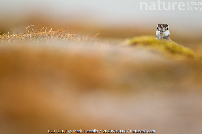 Adult Eurasian dotterel (Charadrius morinellus) female peering over a small hillock in breeding habitat on upland plateau of Grampian mountains, Cairngorms NP, Scotland, UK, May 2011  ,  BIRDS,EUROPE,ONE,PLOVERS,PORTRAITS,SUMMER,UPLANDS,WADERS,2020VISION,CHARADRIIDAE,EUDROMIAS,HEADS,HIGHLANDS,MOUNTAINS,SCOTLAND,UK,VERTEBRATES,United Kingdom  ,  Mark Hamblin / 2020VISION