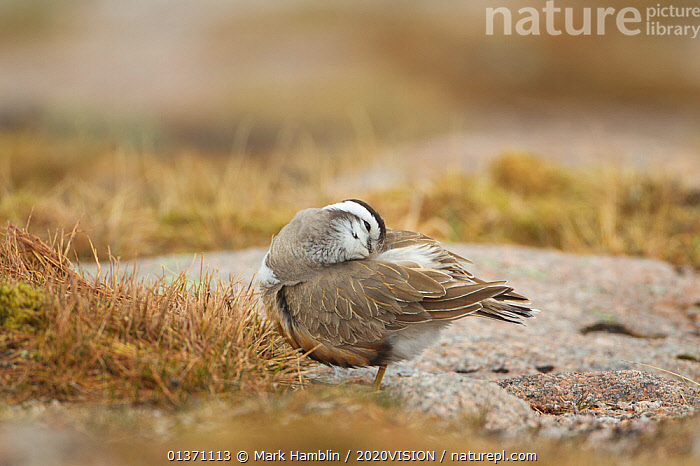 Adult Eurasian dotterel (Charadrius morinellus) female preening in breeding habitat on upland plateau of Grampian mountains, Cairngorms NP, Scotland, UK, May 2011  ,  2020VISION,CHARADRIIDAE,EUDROMIAS,HIGHLANDS,MOUNTAINS,SCOTLAND,UK,VERTEBRATES,BIRDS,EUROPE,ONE,PLOVERS,SUMMER,UPLANDS,WADERS,United Kingdom  ,  Mark Hamblin / 2020VISION