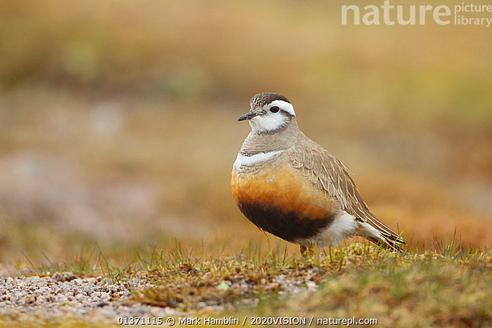 Adult Eurasian dotterel (Charadrius morinellus) female in breeding habitat on upland plateau of Grampian mountains, Cairngorms NP, Scotland, UK, May 2011  ,  BIRDS,EUROPE,ONE,PLOVERS,PORTRAITS,SUMMER,UPLANDS,WADERS,2020VISION,CHARADRIIDAE,EUDROMIAS,HIGHLANDS,MOUNTAINS,SCOTLAND,UK,VERTEBRATES,United Kingdom  ,  Mark Hamblin / 2020VISION