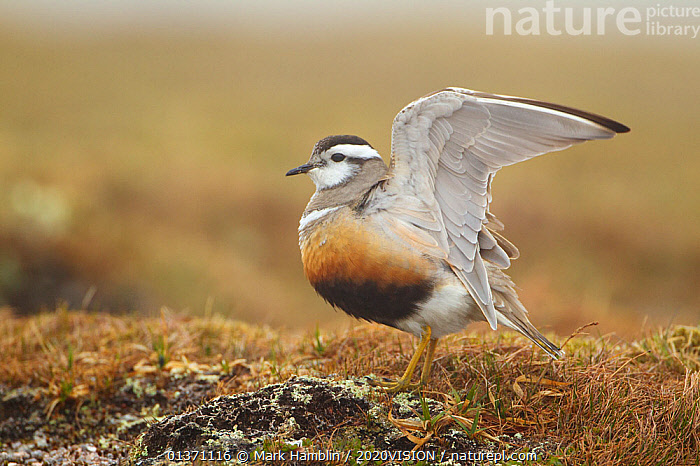 Adult Eurasian dotterel (Charadrius morinellus) female with wings partially raised in the air, in breeding habitat on upland plateau of Grampian mountains, Cairngorms NP, Scotland, UK, May 2011  ,  BIRDS,DISPLAY,EUROPE,ONE,PLOVERS,SUMMER,UPLANDS,WADERS,WINGS,2020VISION,BEHAVIOUR,CHARADRIIDAE,EUDROMIAS,HIGHLANDS,MOUNTAINS,SCOTLAND,STRETCHING,UK,VERTEBRATES,Communication,United Kingdom  ,  Mark Hamblin / 2020VISION