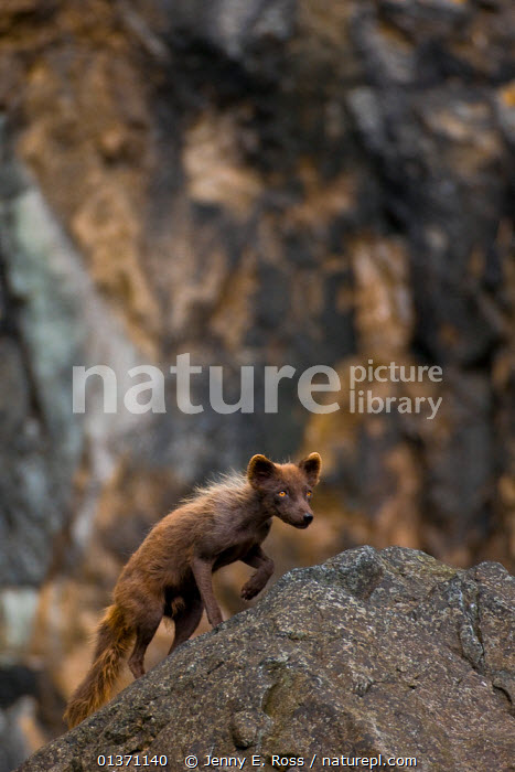 Arctic Fox (Vulpes lagopus semenovi), in dark summer pelage, patrolling cliffside rocks along the coast of Medny Island in the Commander Islands (aka Komandorsky Islands), Russia, July., alert,Alopex,ASIA,CAMOUFLAGE,CANIDS,CARNIVORES,catalogue4,Cautious,cliff,coastal,Commander Islands,dark,eastern russia,focus on foreground,FOXES,full length,Komandorsky Islands,MAMMALS,Medny Island,negative space,Nobody,on the move,one animal,prowling,rock,RUSSIA,side view,solitary,VERTEBRATES,VERTICAL,WALKING,watchful,WILDLIFE,Selective focus,Dogs, Jenny E. Ross
