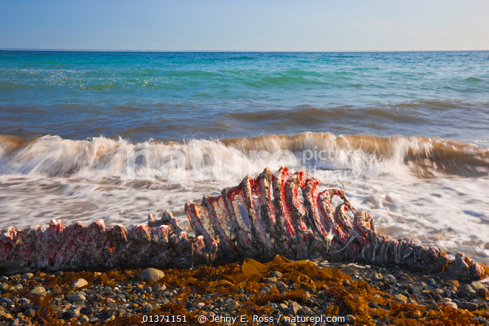 Carcass of a recently-killed Pacific Walrus (Odobenus rosmarus divergens) on beach. Chukotka, Russia, August.  ,  ASIA,beach,BEACHES,bones,Carcass,CARNIVORES,catalogue4,Chukotka,close up,DEATH,eastern russia,horizon,horizon over water,MAMMALS,MARINE,Nobody,PINNIPEDS,RUSSIA,sea,Skeleton,VERTEBRATES,view to sea,WALRUSES,waters edge,WAVES,WILDLIFE,CIS  ,  Jenny E. Ross