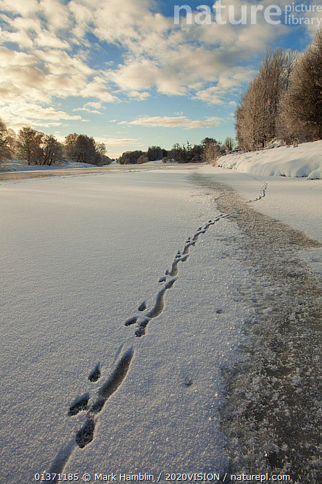 European river otter (Lutra lutra) footprints in snow on the edge of the frozen River Spey, Cairngorms NP, Scotland, UK, December 2010  ,  2020VISION,CARNIVORES,HIGHLANDS,ICE,LANDSCAPES,NP,RESERVE,RIVERS,SCOTLAND,UK,VERTEBRATES,WINTER,CAIRNGORMS,COLD,EUROPE,FROZEN,MAMMALS,MUSTELIDAE,OTTERS,TRACKS,UPLANDS,VERTICAL,National Park,United Kingdom,Mustelids  ,  Mark Hamblin / 2020VISION