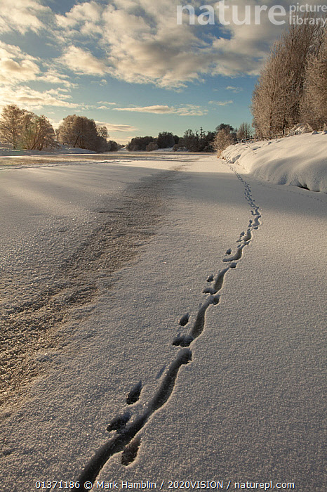 European river otter (Lutra lutra) footprints in snow on the edge of the frozen River Spey, Cairngorms NP, Scotland, UK, December 2010  ,  CAIRNGORMS,COLD,EUROPE,FROZEN,MAMMALS,MUSTELIDAE,OTTERS,TRACKS,UPLANDS,VERTICAL,2020VISION,CARNIVORES,HIGHLANDS,ICE,LANDSCAPES,NP,RESERVE,RIVERS,SCOTLAND,UK,VERTEBRATES,WINTER,National Park,United Kingdom,Mustelids  ,  Mark Hamblin / 2020VISION
