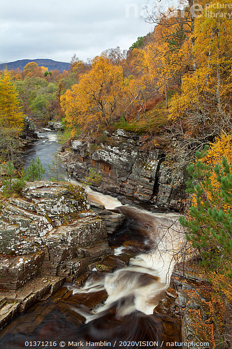 River Tromie running through autumnal woodland, Glenfeshie, Cairngorms NP, Scotland, UK, October 2010  ,  2020VISION,HIGHLANDS,LANDSCAPES,MOUNTAINS,NP,RESERVE,RIVERS,SCOTLAND,STREAMS,TIME EXPOSURE,UK,WOODLANDS,AUTUMN,BLURRED,CAIRNGORMS,EUROPE,MOVEMENT,TREES,UPLANDS,VERTICAL,National Park,PLANTS,United Kingdom  ,  Mark Hamblin / 2020VISION