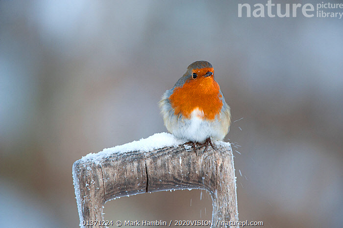 Adult Robin (Erithacus rubecula) perched on spade handle in the snow in winter, Scotland, UK, December 2010  ,  BIRDS,COLD,EUROPE,MUSCICAPIDAE,ONE,2020VISION,GARDENS,SNOW,SONGBIRDS,UK,URBAN,VERTEBRATES,WINTER,United Kingdom  ,  Mark Hamblin / 2020VISION