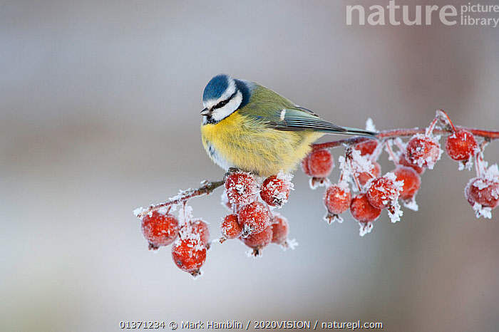 Blue tit (Parus caeruleus) adult in winter, perched on twig with frozen crab apples, Scotland, UK, December 2010  ,  BIRDS,COLD,EUROPE,FROZEN,FRUIT,ONE,TITS,2020VISION,FROST,GARDENS,PARIDAE,SNOW,SONGBIRDS,UK,URBAN,VERTEBRATES,WINTER,Weather,Plants,United Kingdom  ,  Mark Hamblin / 2020VISION