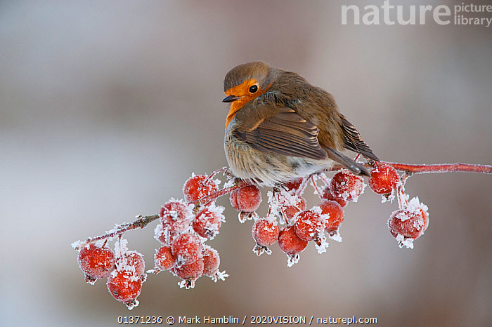 Adult Robin (Erithacus rubecula) in winter, perched on twig with frozen crab apples, with ruffled feathers toinsulate against the cold, Scotland, UK, December 2010  ,  BIRDS,COLD,EUROPE,FROZEN,FRUIT,MUSCICAPIDAE,ONE,2020VISION,FROST,GARDENS,SNOW,SONGBIRDS,UK,URBAN,VERTEBRATES,WINTER,Weather,Plants,United Kingdom  ,  Mark Hamblin / 2020VISION